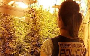 Cuatro detenidos tras desmantelar un cultivo con 343 plantas de marihuana en el barrio de Pescadería