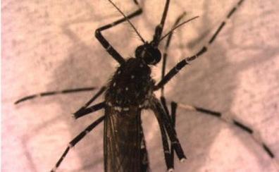 Alarma en Andalucía: un nuevo mosquito que transmite enfermedades a los humanos