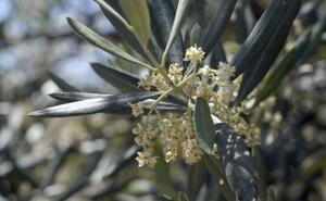 Primer gran ascenso del nivel del polen del olivo en Jaén