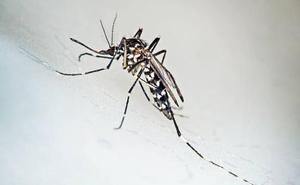 Cómo 'domar' al mosquito tigre