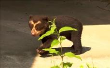 El raro oso de anteojo que causa sensación en un zoo