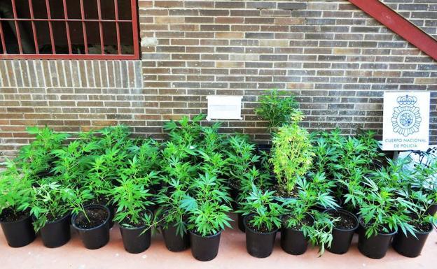Detenido vecino de Andújar e incautadas 338 plantas de marihuana.