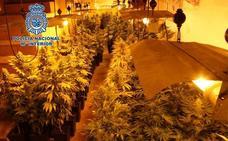 Desmantelan tres plantaciones de interior con más de 1.000 plantas de marihuana