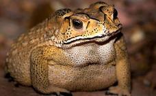 El tentador pero letal sapo que condena a Madagascar