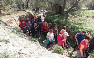 Alcolea recorre el domingo la Ruta del Olivo Centenario