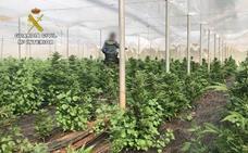 Localizan un invernadero en Berja con 6.500 plantas de marihuana
