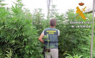 Detienen a un vecino de Adra por una plantación de marihuana localizada en Albuñol