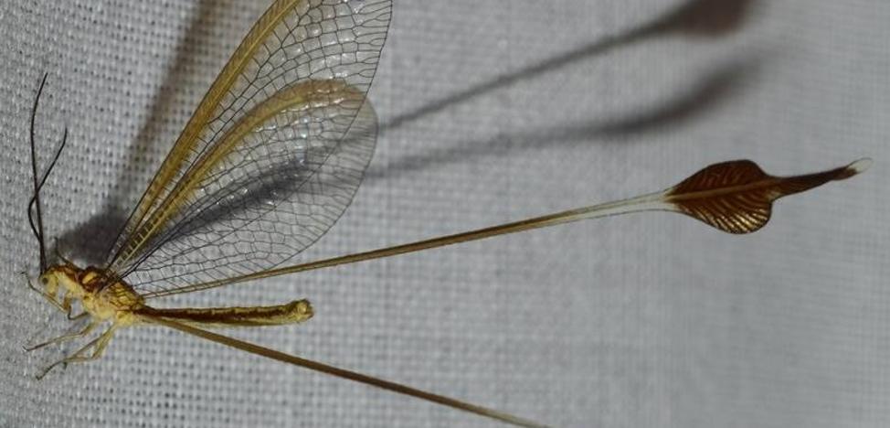 Hallan en Adra el 'duende de Balanegra', un insecto exclusivo de Almería