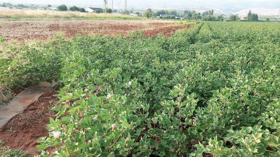 Asaja vaticina que el retraso de la siembra del algodón mermará su producción en un 15%