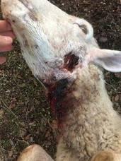 Propietarios de fincas alertan del ataque a sus ganados