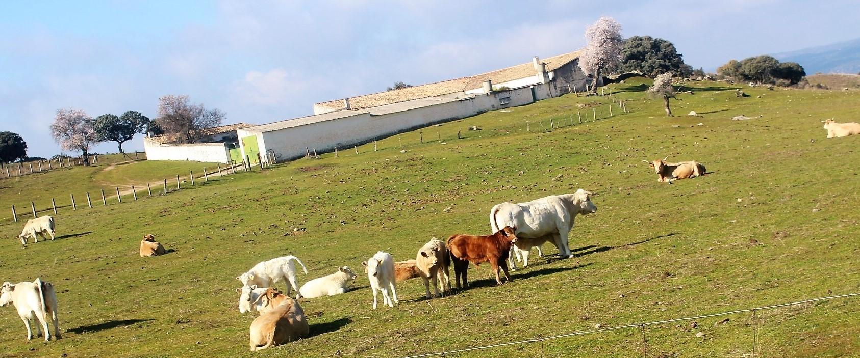 Ganaderos de la provincia y de la zona de Sierra Morena avisan de la posible desaparición de las reses bravas
