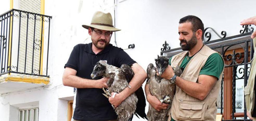 La Junta libera dos nuevos pollos de quebrantahuesos en la Sierra de Castril