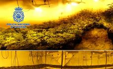 Un detenido en una operación con más de 600 plantas de marihuana incautadas en Baza