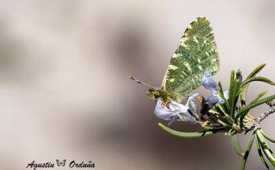 El Gobierno aumenta el nivel de protección legal de la mariposa Euchloe Bazae Bazae