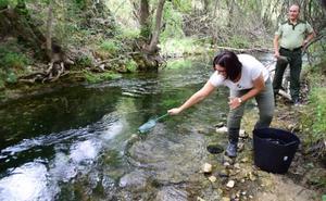 La Junta libera en el Río Guardal 250 ejemplares alevines de trucha común