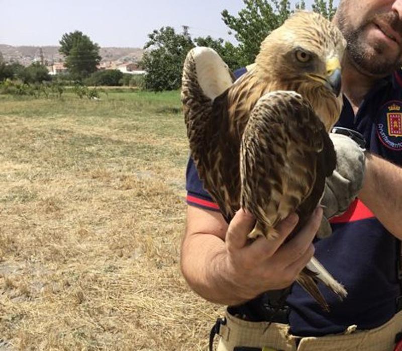 Los Bomberos de Baza rescatan un águila calzada herida en un ala y una pata