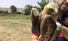 Los Bomberos de Baza rescatan un águila calzada herida