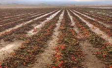 La tormenta de granizo destruye 200 hectáreas de brócoli y tomate en el campo de Puebla de Don Fadrique