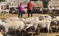 Una familia de Castril busca desesperadamente donde pasar el invierno con sus 600 ovejas