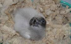 Nace en Cazorla el primer pollo de quebrantahuesos de la temporada