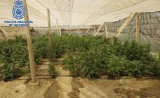 Localizan un invernadero con 270 plantas de marihuana en El Ejido