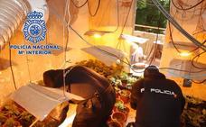Por una denuncia por malos tratos se descubren 261 plantas de marihuana en El Ejido