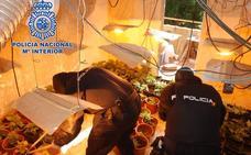 Hallada en una vivienda de El Ejido una plantación con 261 plantas de marihuana, tras una denuncia por agresión