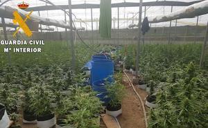Cazados en El Ejido cuando trabajaban en su gran invernadero de marihuana con 2.311 plantas