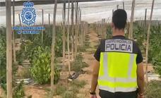 Descubren cinco toneladas de marihuana encubiertas bajo un cultivo de cáñamo industrial en El Ejido