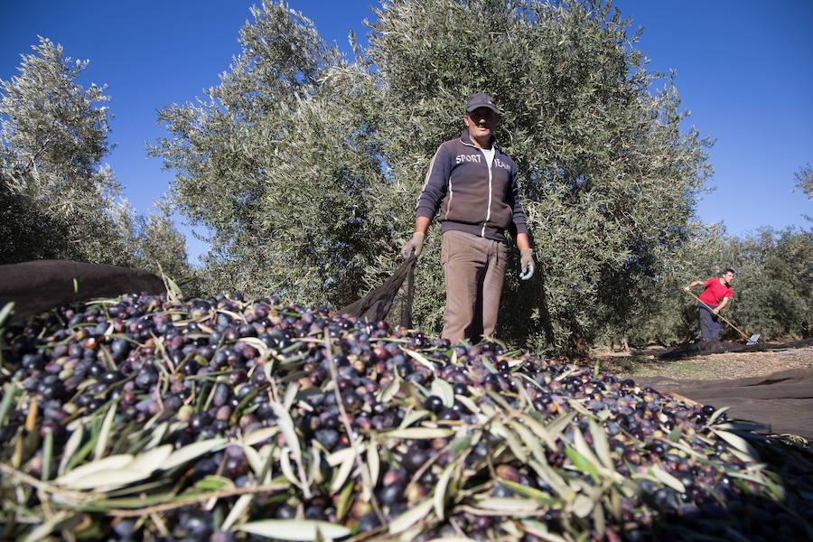 Enero acelera la producción de aceite de oliva