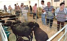 Los ganaderos de la oveja 'rabúa' miran al futuro con una raza saludable y sostenible