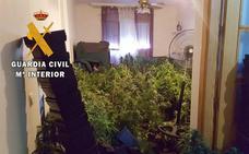 A prisión la presunta responsable de cultivar 655 plantas de marihuana en Roquetas