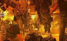 Intervenidas casi 1.800 plantas de marihuana en tres dúplex conectados junto a un colegio en Vícar