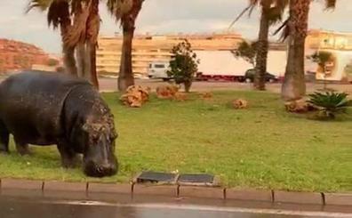El Ayuntamiento de Roquetas ordena el precinto del Circo Roma Dola tras la fuga de un hipopótamo