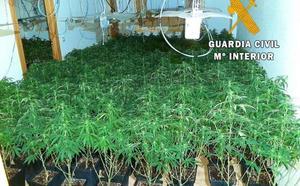 Localizan 800 plantas de marihuana en dos operaciones en Roquetas de Mar