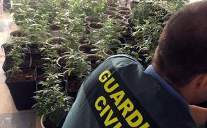 Localizan 220 plantas de marihuana en un piso ocupado de Roquetas con enganche ilegal de electricidad