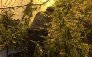 Tres años de cárcel por cultivar 89 plantas de marihuana en Roquetas
