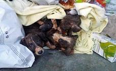 Seis cachorros de galgo fueron arrojados vivos a un contenedor de basura