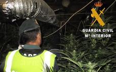 Desmantelado un cultivo con 192 plantas de marihuana en una granja de ganado