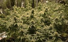 Intervienen 960 plantas de marihuana en Cájar