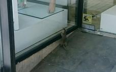Un 'super ratón' de compras en la calle Arquitecto Berges de Jaén