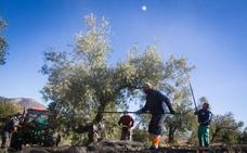Faeca prevé un 25 % menos de cosecha de olivar en Granada por la sequía y el calor