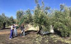 El olivar evita que se emitan 30 millones de toneladas de CO2