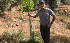 El pistacho, la 'pareja ideal' del olivar, se multiplica en sus mismas tierras