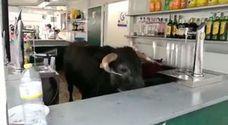 El toro que quería 'echarse un trago'