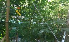 Un detenido tras desmantelar un invernadero de marihuana en una casa de campo de Jimena