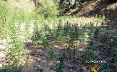 Detenidas dos personas e intervenidas 1.210 plantas de marihuana en Cabra del Santo Cristo
