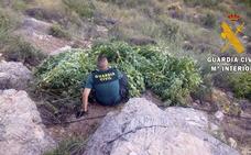 Incautadas 240 plantas de marihuana en una operación con un detenido y un investigado
