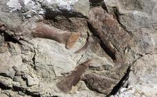 Descubren un esqueleto casi completo de tiranosuario con una edad de 76 millones de años