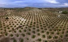 Alertan del uso de insecticidas en el olivar para 'evitar' la Xylella , a pocas semanas de la recogida